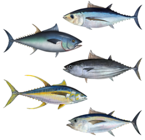 Source NOAA: Albecore, Bluefin, Skipjack, Yellowfin, and Bigeye Tuna