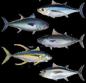 Source NOAA: Albecore, Bluefin, Skipjack, Yellowfin, and Bigeye Tuna